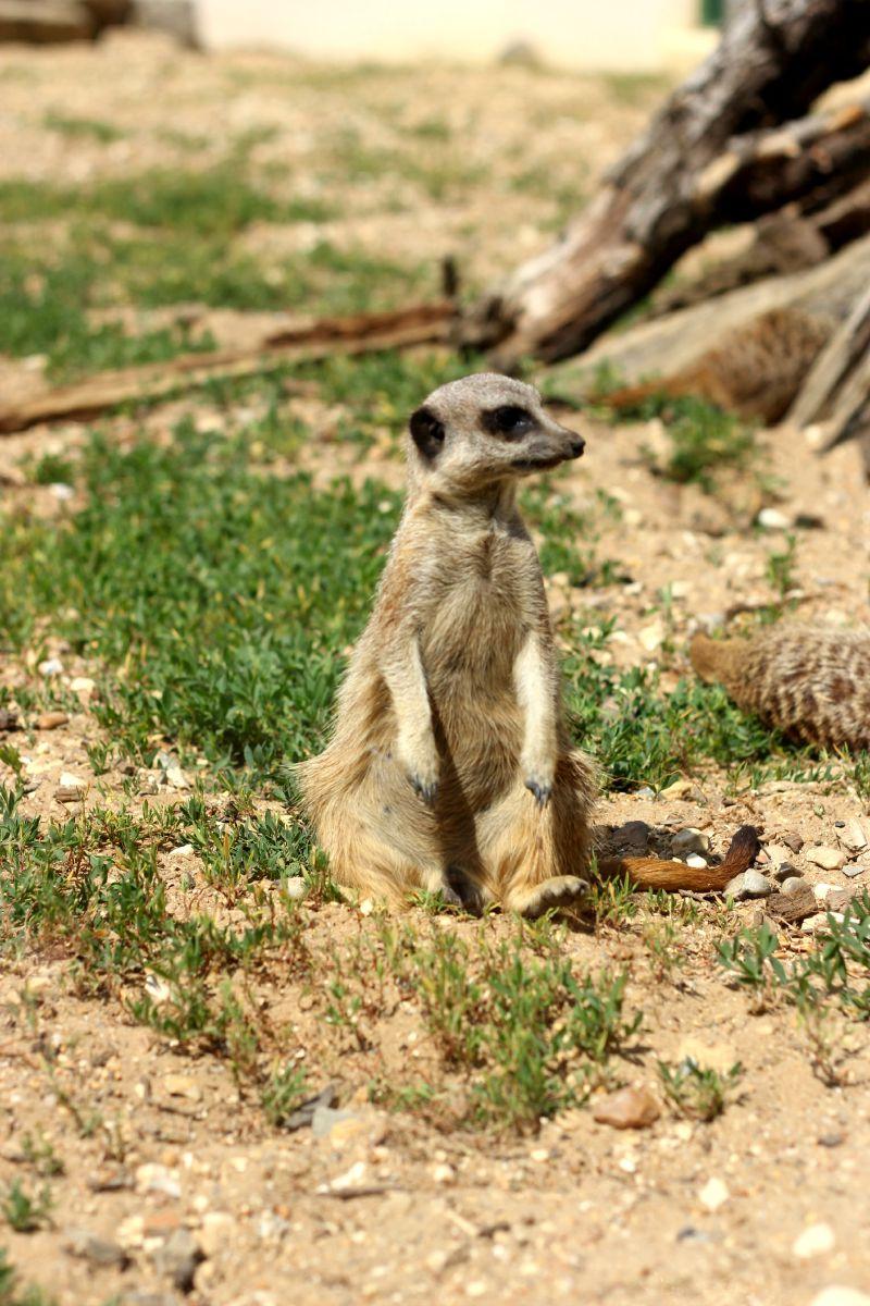 Meerkat at Peppa Pig World